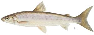 round_whitefish
